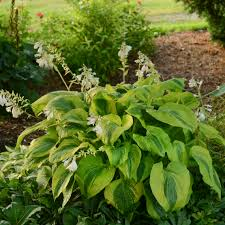 afterglow hosta the flower colour is shades of purple the