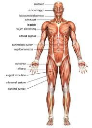 body all part muscles name image name of body muscle parts body