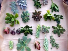 Amazon Succulents Amazon Com 50 Succulent Unrooted Individual Cuttings Great