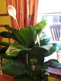 Types Of Indoor Plants Top 3 House Plants To Improve Indoor Air Quality Gardendishes