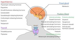 endocrine system diagram worksheet endocrine glands and hormones