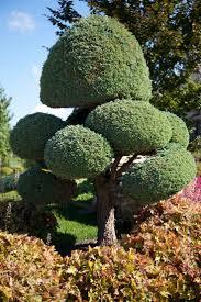 Pom Pom Trees 349 Best Niwaki Images On Pinterest Japanese Gardens Bonsai