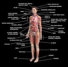 Picture Of Human Anatomy Body Human Body Parts Name With Picture Human Anatomy Chart