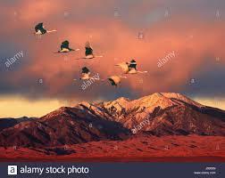 birds flying in v formation stock photos u0026 birds flying in v