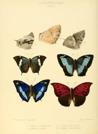 file illustrations of new species of exotic butterflies paphia ii