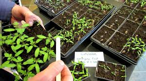 60 seconds or sow first leaves or true tomato leaves what are
