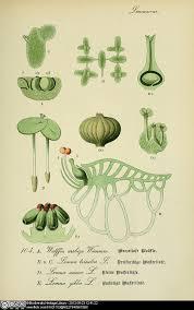 botanical sts botanical drawings of 4 duckweed lemnaceae species