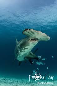 photographing the hammerhead sharks of bimini bahamas watch video