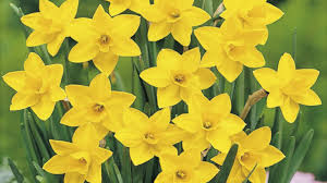 daffodils flowers 753 wallpapers13 com