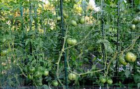 fall summer vegetable garden summer vegetable gardens in south