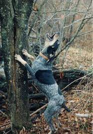 videos of bluetick coonhounds 28 best bluetick coonhounds images on pinterest bluetick