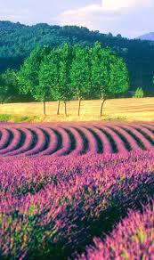 615 best 1 flowers u2014 lavender images on pinterest lavender