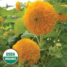 teddy sunflowers heirloom sunflower seeds