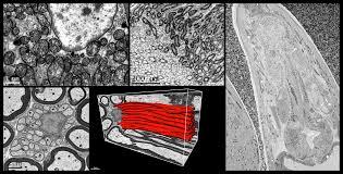 serial block face imaging gatan inc