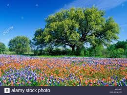 live oak tree beside field of indian paintbrush and bluebonnets