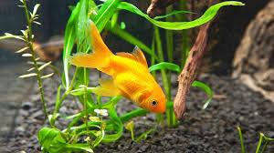 how to clean fish tank gravel aquarium care