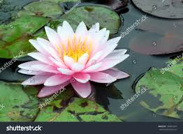 beautiful lotus flower on water stock photo 136961324 shutterstock
