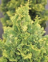 obtusa 22 karat miniature gold hinoki cypress
