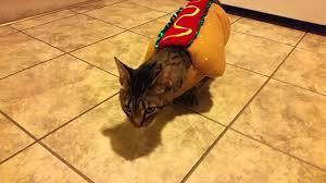 cat halloween picture cat hotdog halloween costume youtube