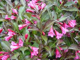 flowering shrubs spring and when flowering plants examples to