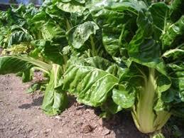 cuisiner les cotes de bettes blette nutrition consommation et cuisine