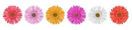 gerbera colors colorful gerbera flower row for banner stock vector