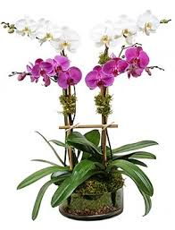 orchid plants orchid plant delivery nyc plantshed
