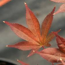 maple tree symbolism fireglow japanese maple tree gift acer palmatum fireglow