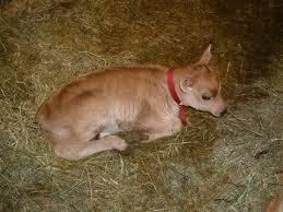 cerco animali da cortile mucche in vendita bovini come fare per acquistare una mucca