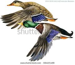duck hunting stock images royalty free images u0026 vectors