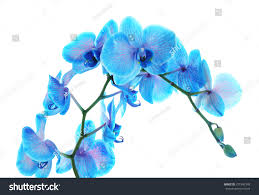 Blue Orchid Flower Beautiful Blue Orchid Flower Isolated On Stock Photo 371942398