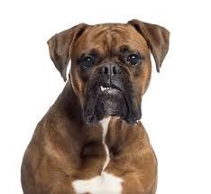 sims 3 boxer dog if you can identify all 15 of these dogs snouts you deserve to