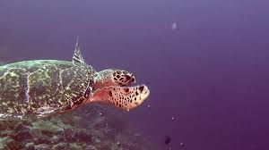 green sea turtle on clean clear seabed underwater in maldives