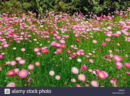 straw flowers everlastings strawflowers helichrysum family park