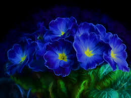 blue flowers wallpaper primrose blue flowers hd 4k flowers 6357