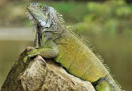imágenes de iguanas verdes las iguanas verdes cuidados preguntas frecuentes y problemas