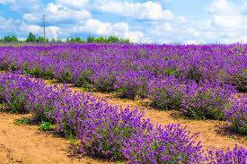 Most Fragrant Lavender Plant Plants That Thrive In Sandy Soil Lovetoknow