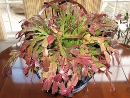 changing a thanksgiving cactus into a cactus a