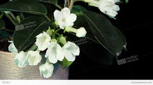 stephanotis flower time lapse opening white stephanotis flower buds alpha matte