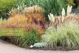 gap gardens bed of ornamental grasses including cortaderia