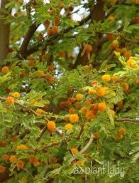 native arizona plants a wonderful dilemma ramblings from a desert garden