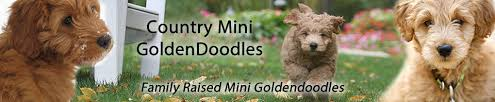 doodle for adoption indiana country mini doodles mini goldendoodles breeder indiana midwest