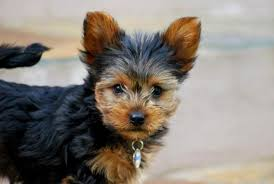how long should i feed puppy food u2013 truth about pet food