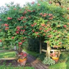Climbing Plants That Flower All Year - the all things plants most popular vines and climbers garden org