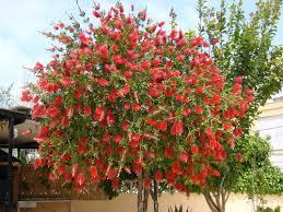 midsize florida trees