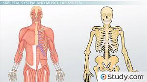 skeletal system and muscular system video u0026 lesson transcript