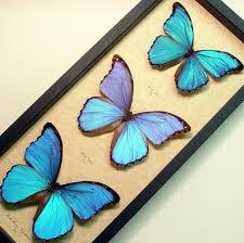 morpho collection butterfly designs framed butterflies