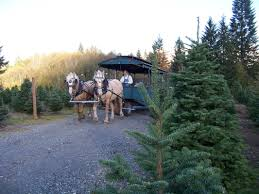 Fraser Christmas Tree Permit by Thrifty Thurston Selects The Perfect Tree From A Bounty Of Olympia