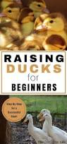 Guide To Raising Backyard Chickens by 1443 Best Images About Backyard Chickens On Pinterest A Chicken