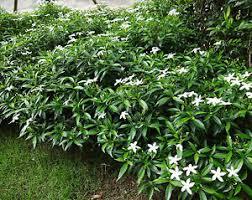 flower plants live chinese crape jasmine flower plant 4 plants ebay
